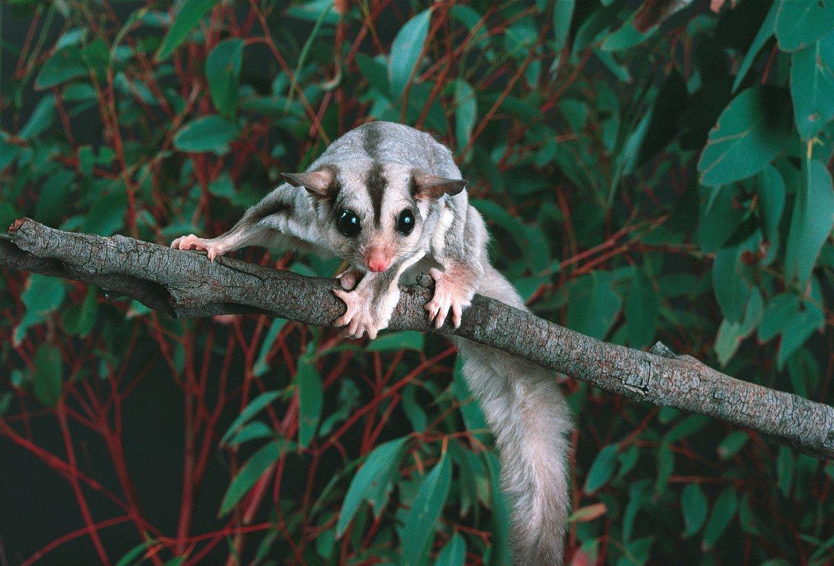 Australian Squirrel Glider
