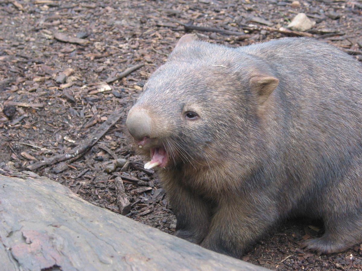Common Wombat - The Australian Museum