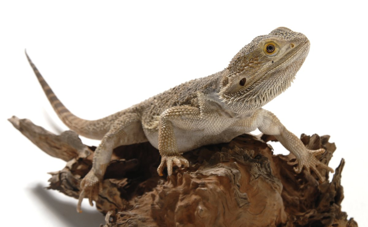 Central Bearded Dragon - The Australian Museum