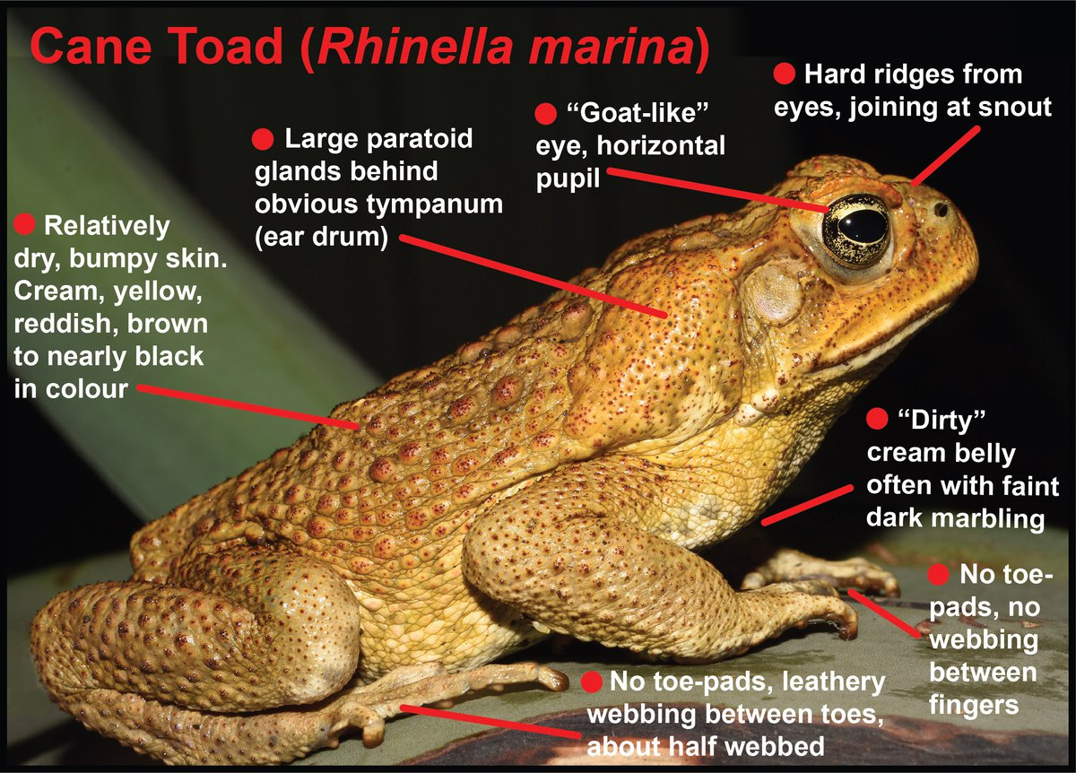 squirrel diagram how can you tell the difference between a cane toad and a  how can you tell the difference between a cane toad and a