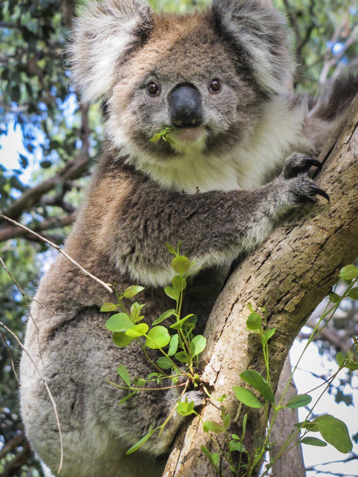 immagini koala da