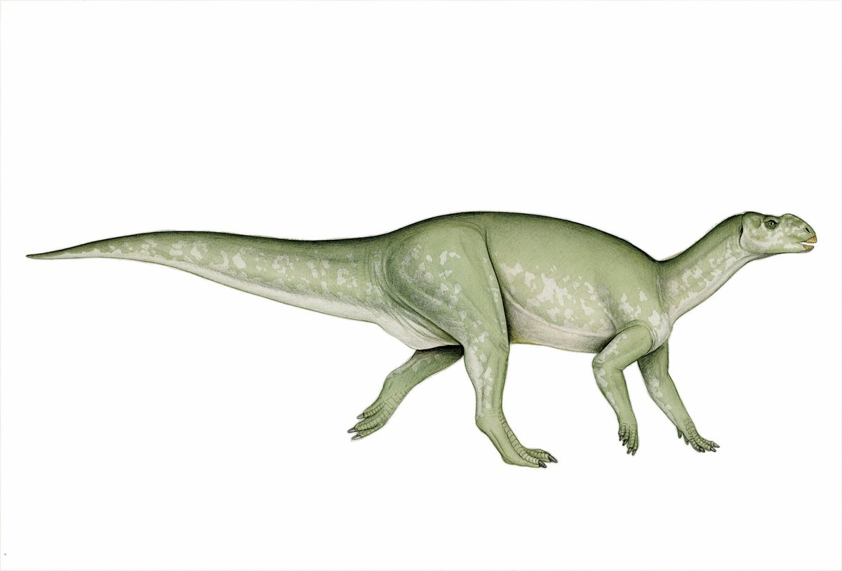 Muttaburrasaurus Langdoni The Australian Museum