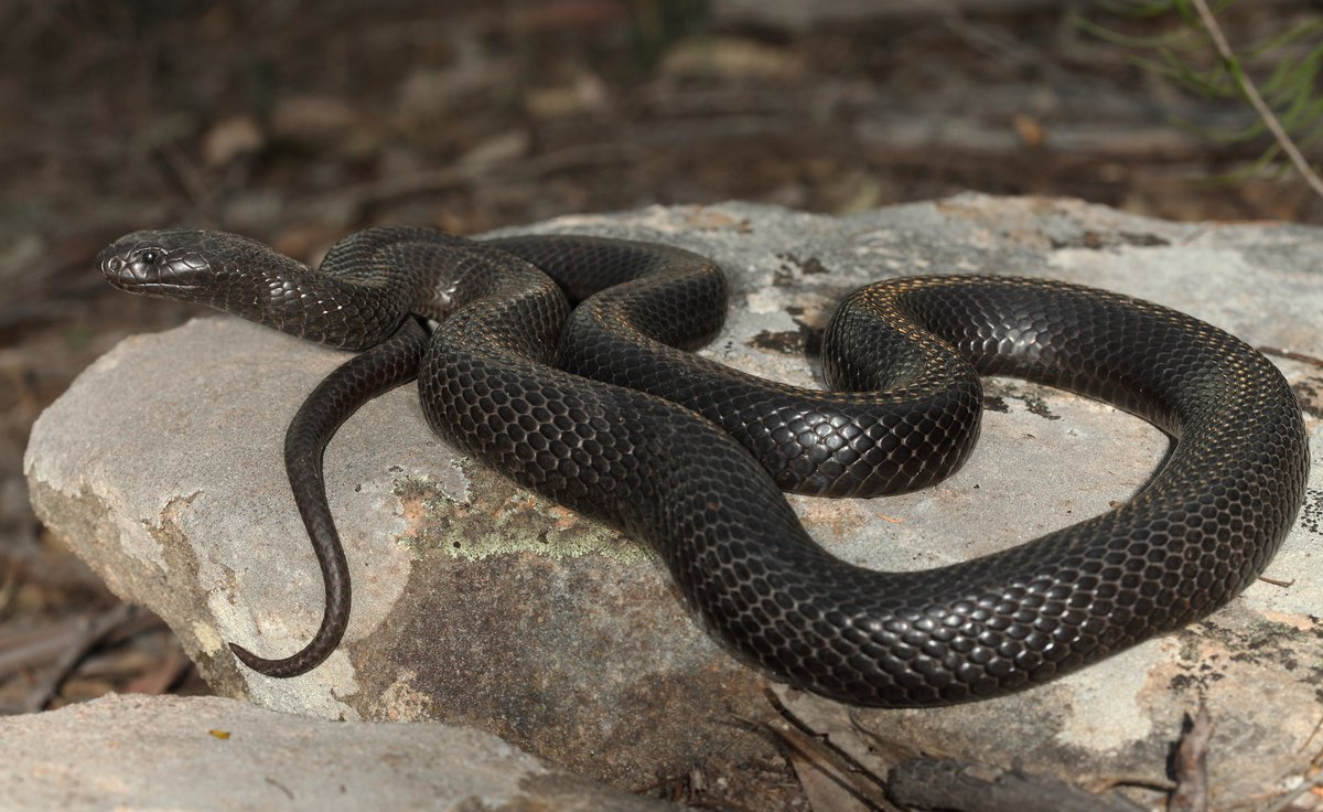 Blue-bellied Black Snake - The Australian Museum