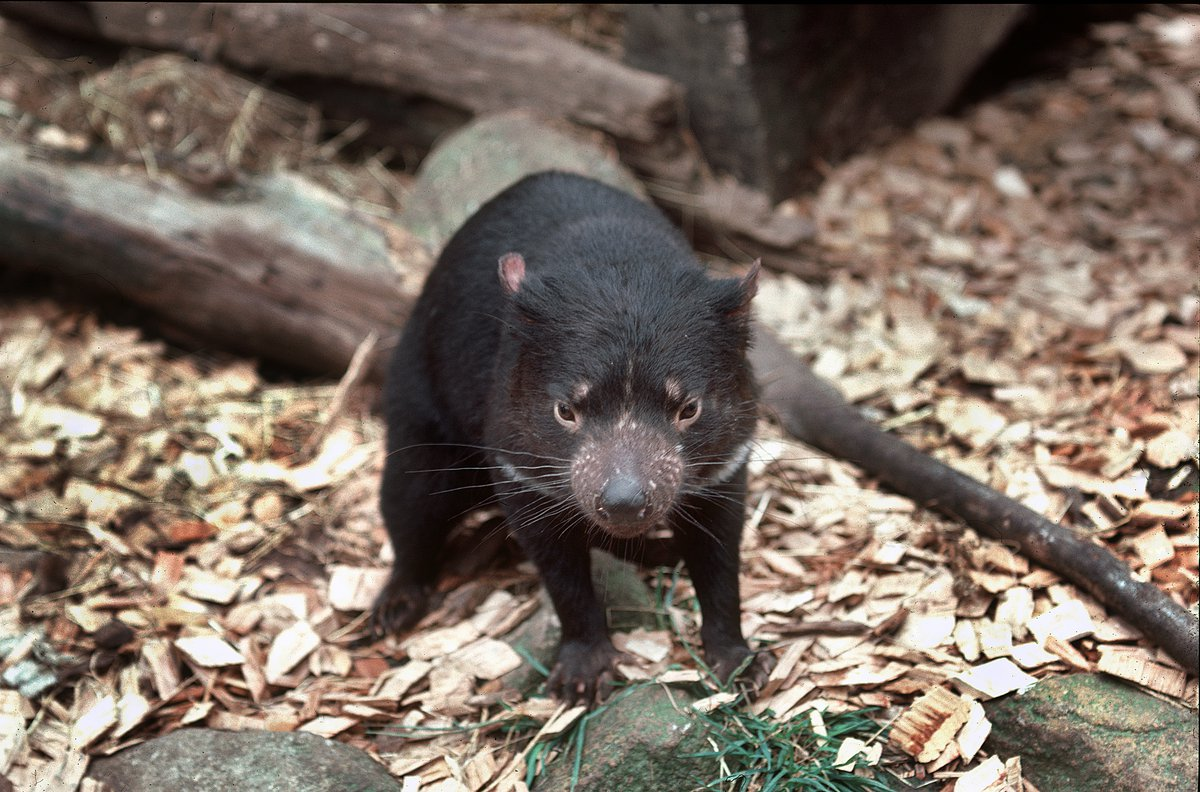 Tasmanian Devil - The Australian Museum