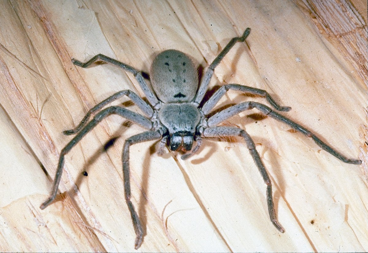 2290c2bdd Huntsman Spiders - The Australian Museum