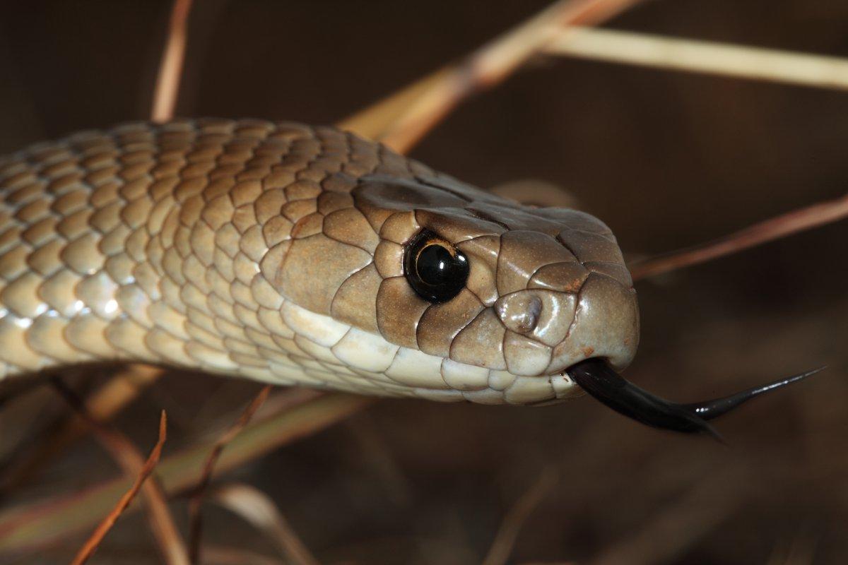 b952499851 Eastern Brown Snake - The Australian Museum