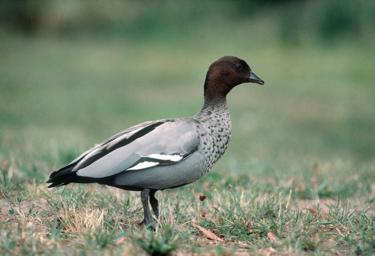 Australian Wood Duck - The Australian Museum