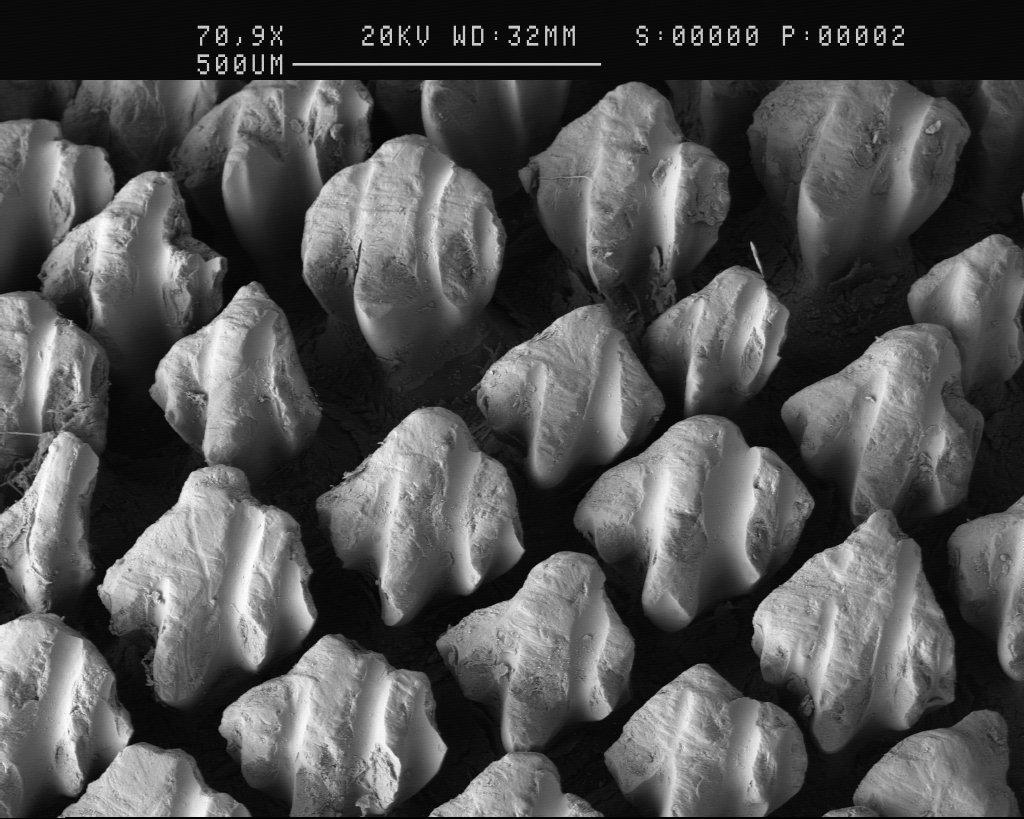 Rhincodon typus