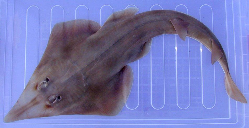 Eastern Shovelnose Ray, Aptychotrema rostrata