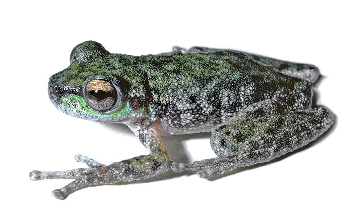 Peppered Tree Frog, Litoria piperata