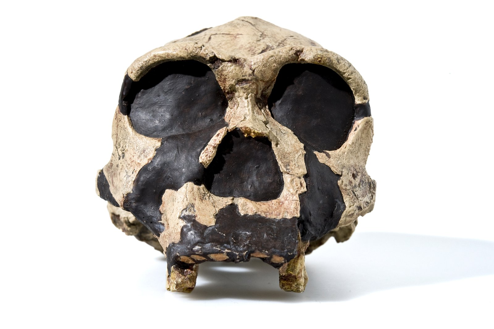Cast of a human skull (Homoergaster)