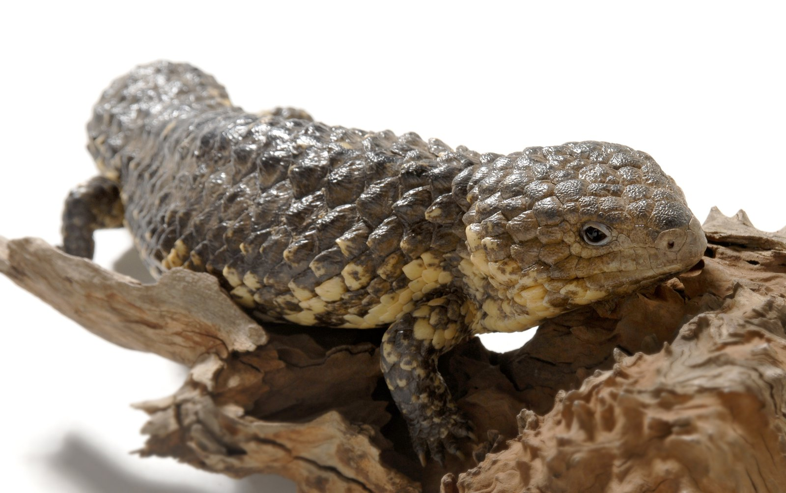 Shingleback Lizard, Tiliqua rugosa