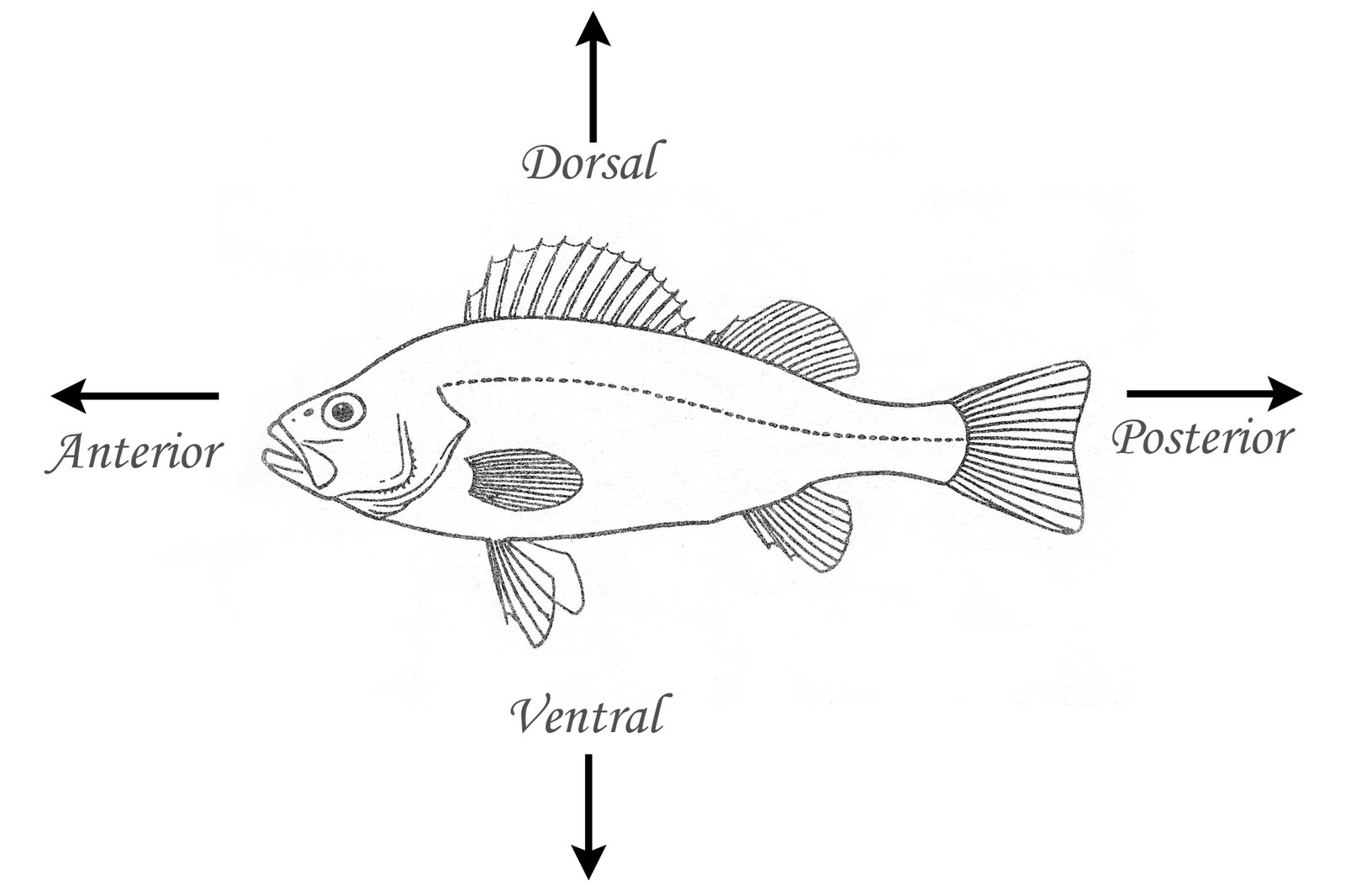 Fish with dorsal, ventral, anterior, posterior labelled