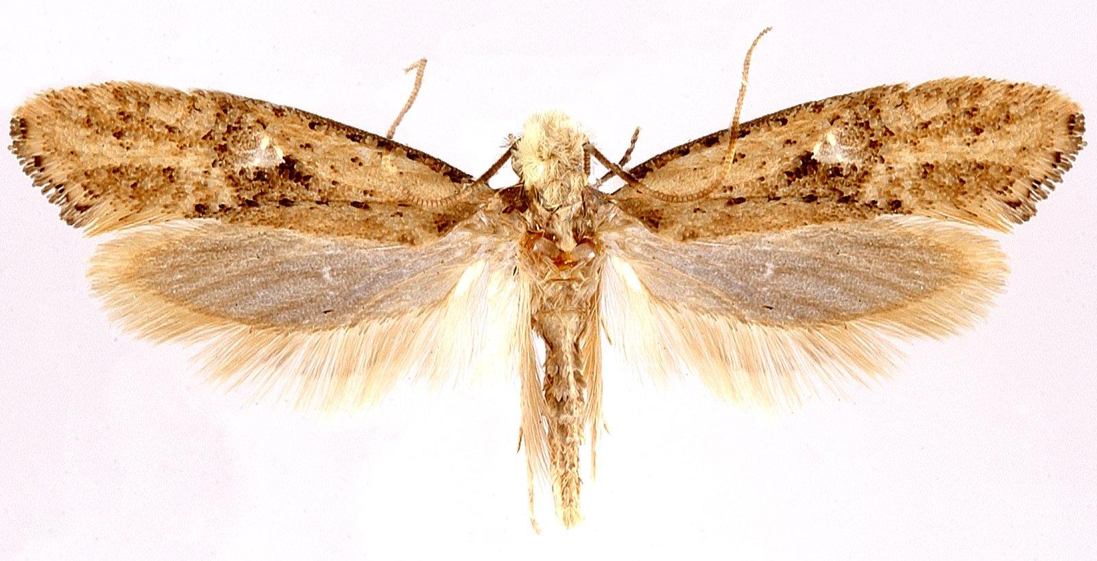 Monopis argillacea