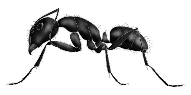 Ant, Order Hymenoptera, family Formicidae