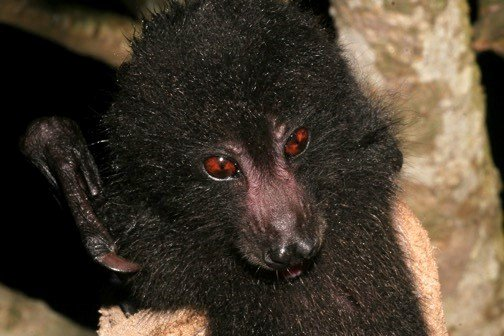 Guadalcanal Monkey-Faced Bat