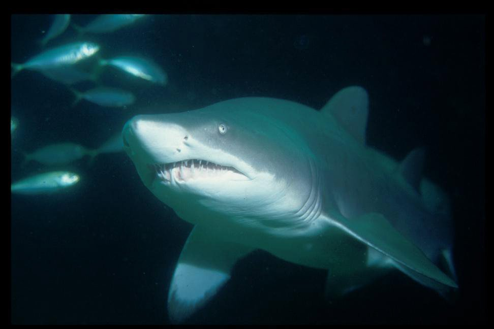 Greynurse Shark, Carcharias taurus