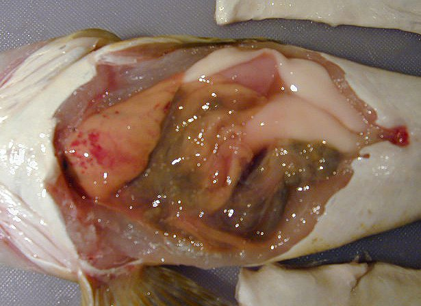Liver - Dissection of an Eastern Blue-spotted Flathead