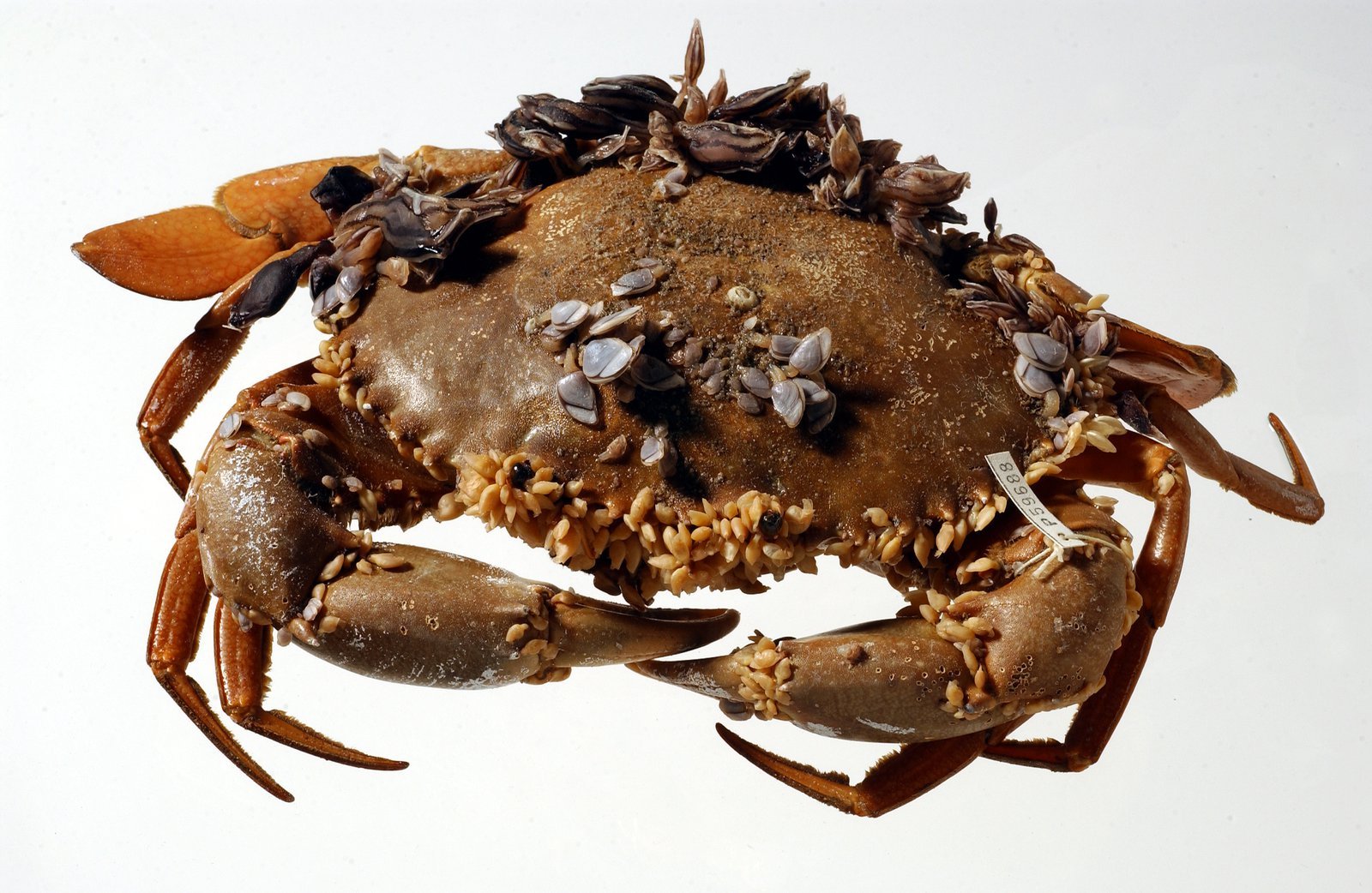 Mud Crabs at Sea - The Australian Museum