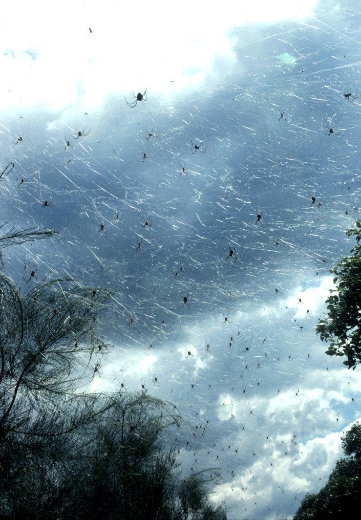 Massed Nephila plumipes webs
