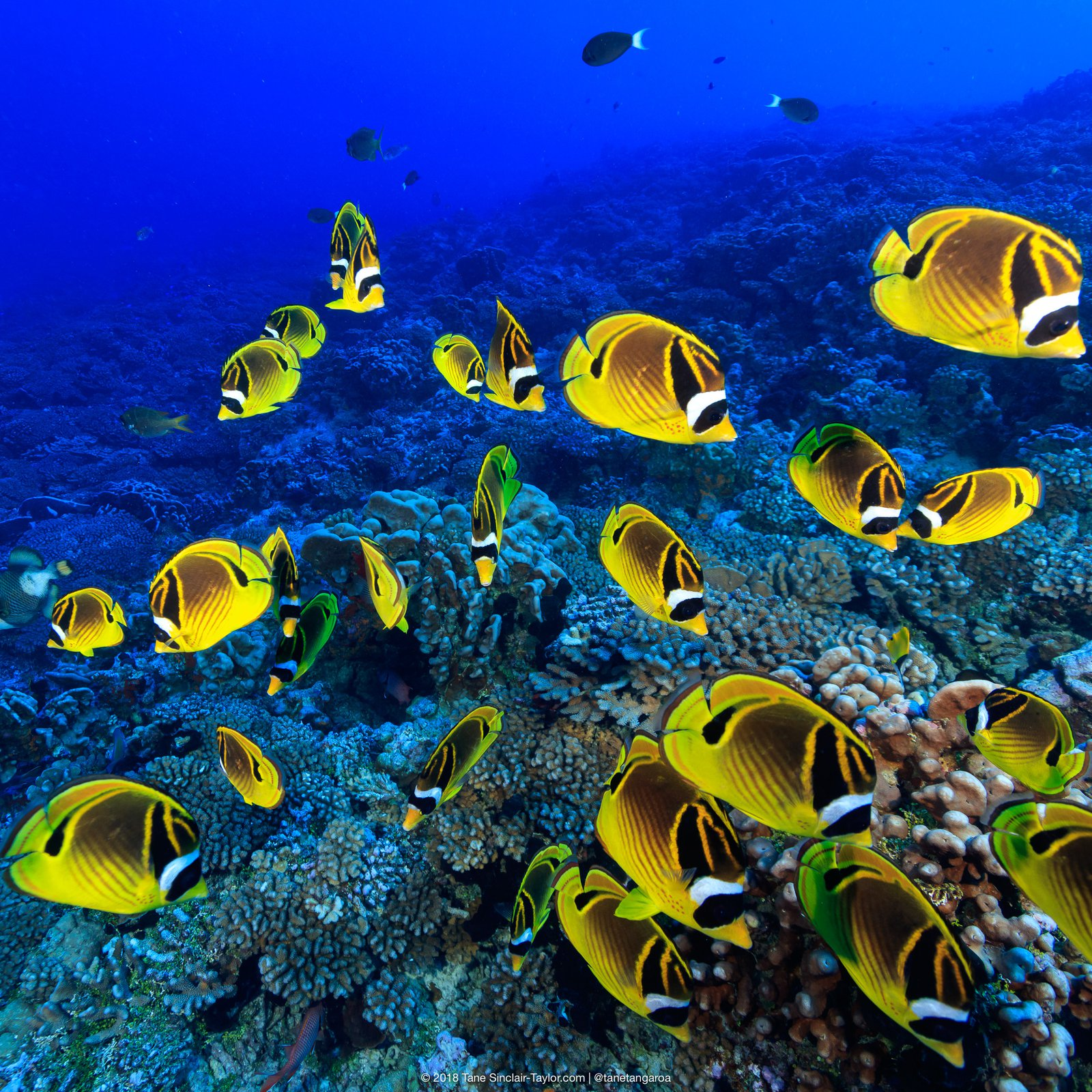 A small school of raccoon butterflyfish (Chaetodon lunula)