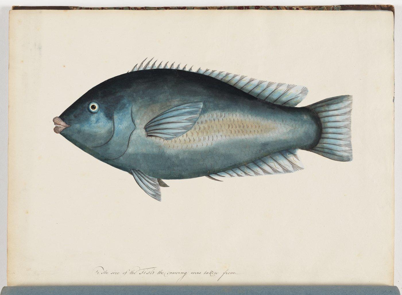Blue Groper illustration