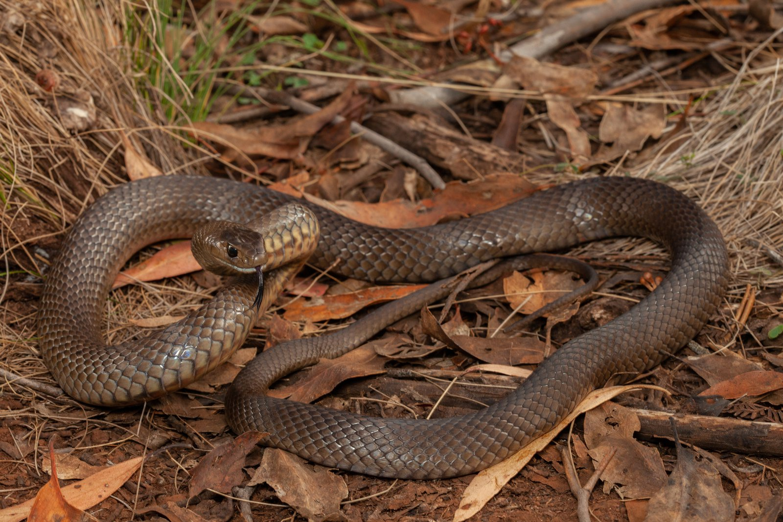 Eastern Brown Snake The Australian Museum Anatomy Diagram Image Search Results Pseudonaja Textilis