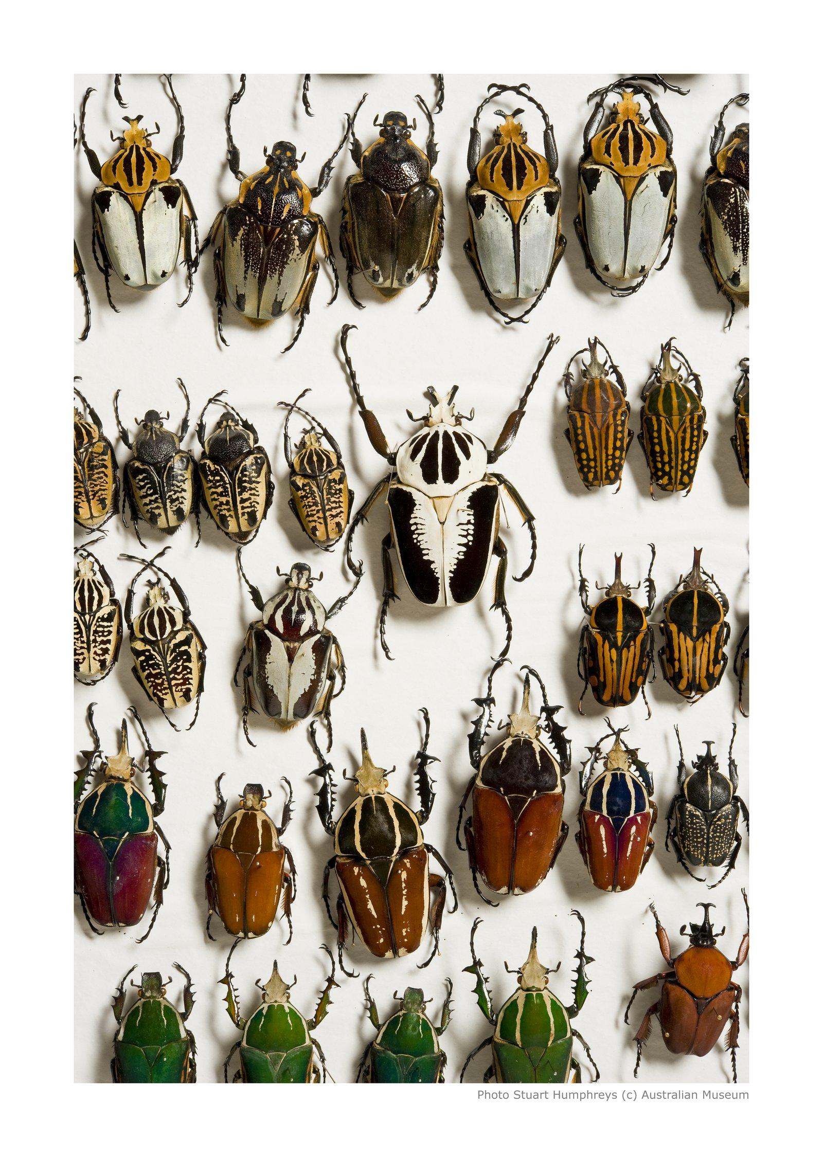 beetles order coleoptera the australian museum