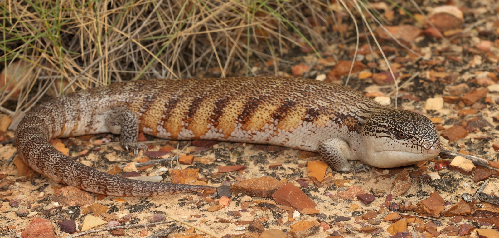 Northern Blue-tongue Skink - Tiliqua scincoides