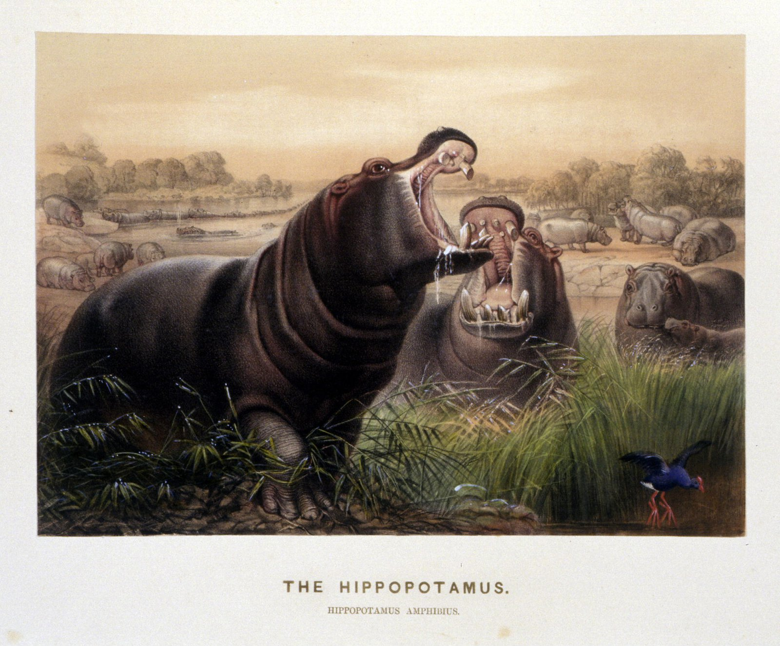 'The Hippopotamus' by Josef Wolf