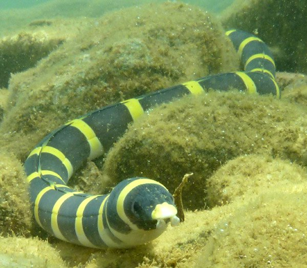 Saddled Snake Eel, Leiuranus semicinctus