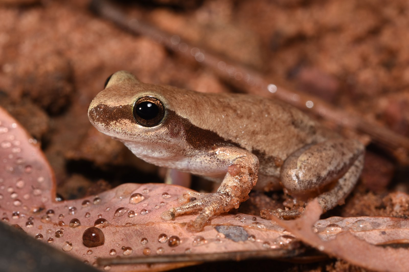 Red Tree Frog (Litoria rubella).