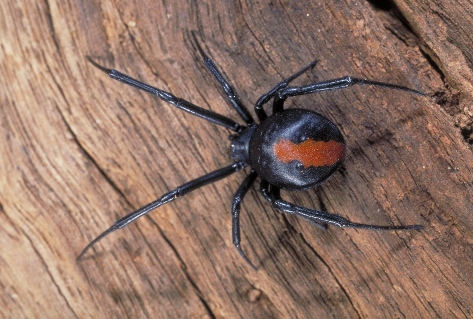 Redback Spider The Australian Museum