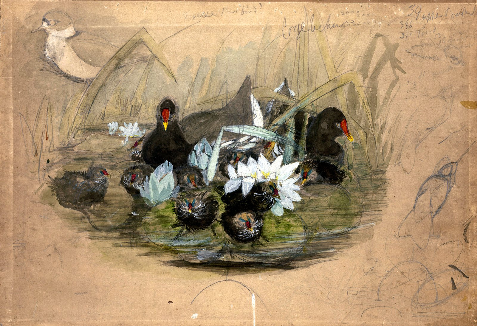 Preparatory sketch of Moorhen