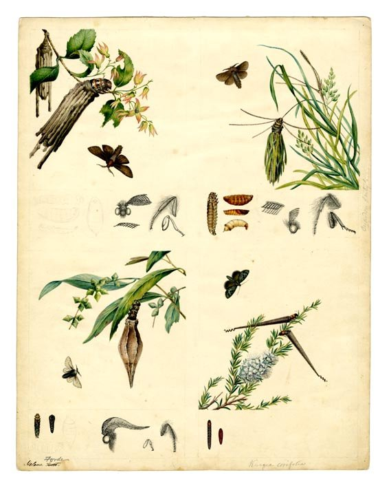 Psychidae moths