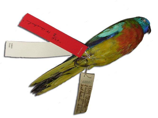 Splendid grass parakeet