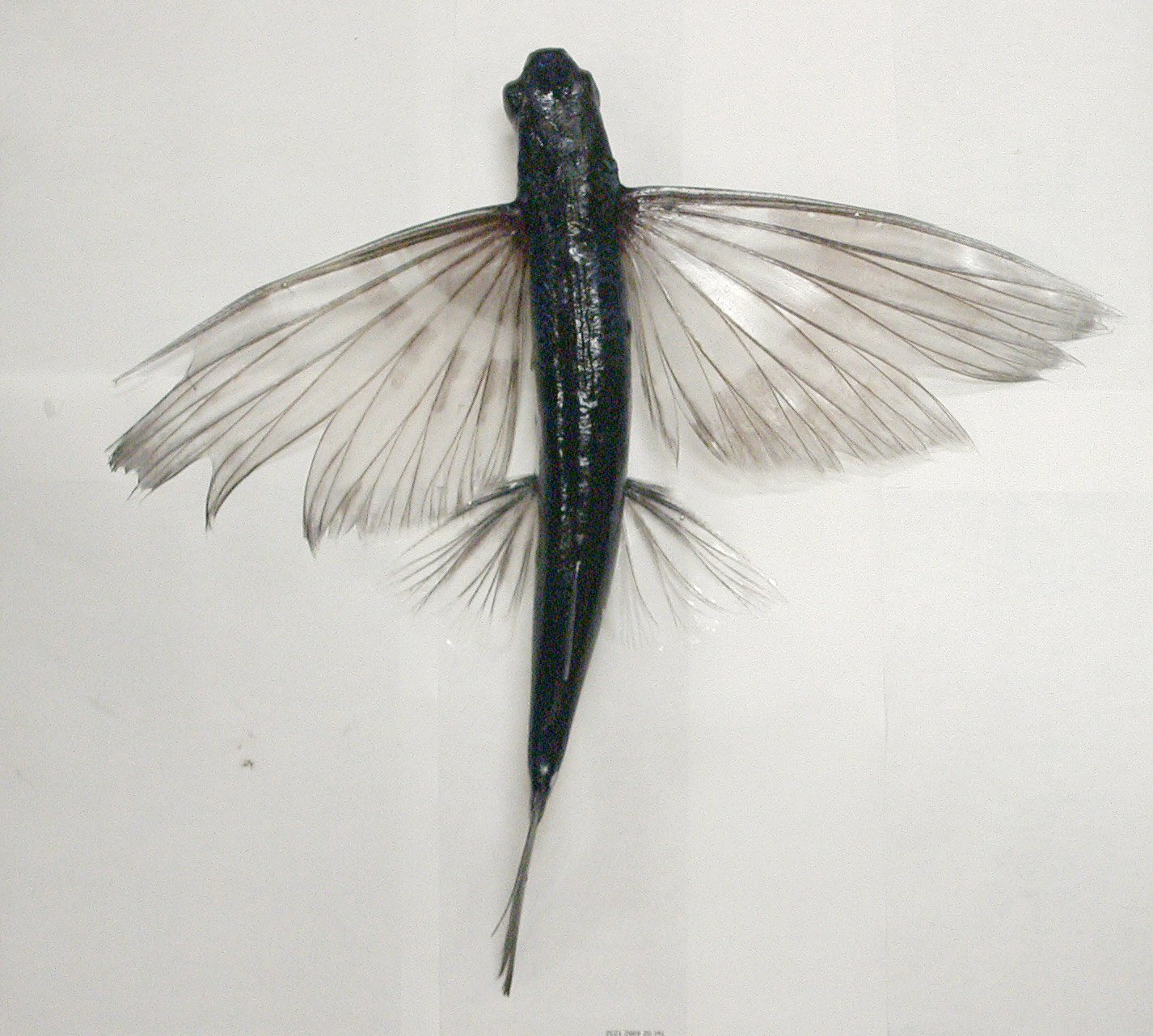 A flyingfish, Cheilopogon sp  - The Australian Museum
