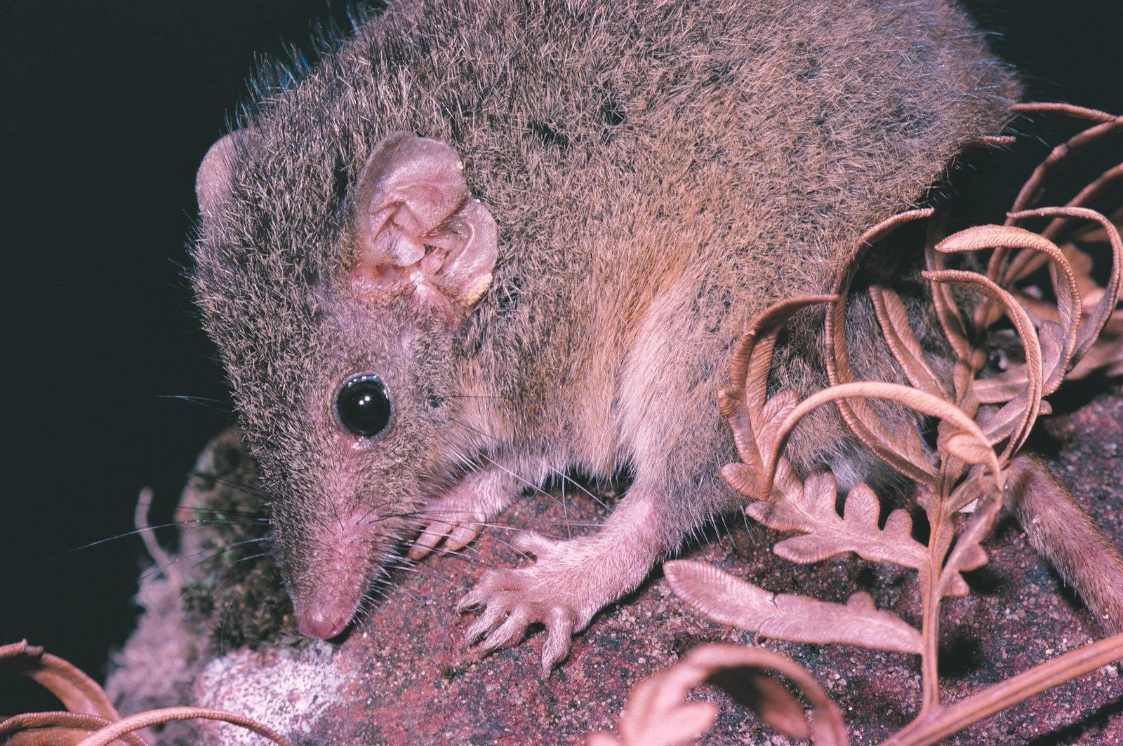 Is it a Rat? - The Australian Museum
