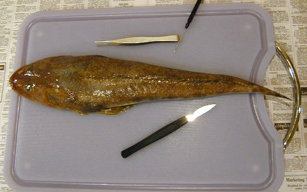 Getting started - Dissection of an Eastern Blue-spotted Flathead