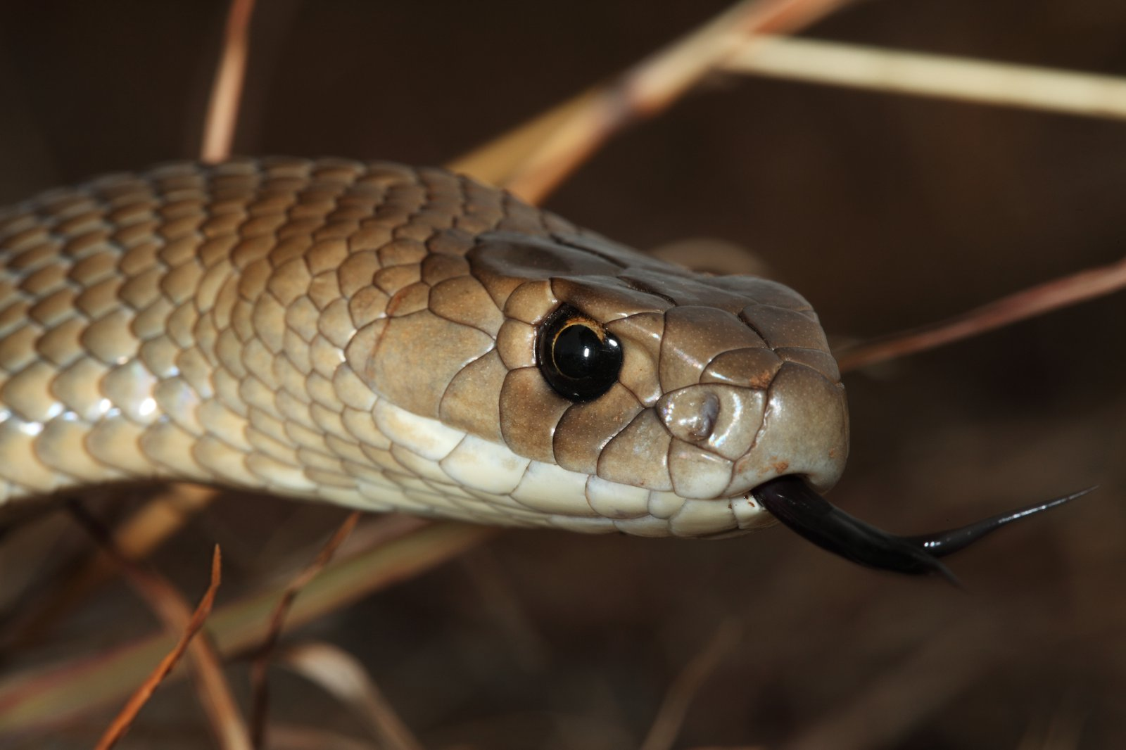 eastern brown snake the australian museum viper diagram snake muscular diagram wiring diagram