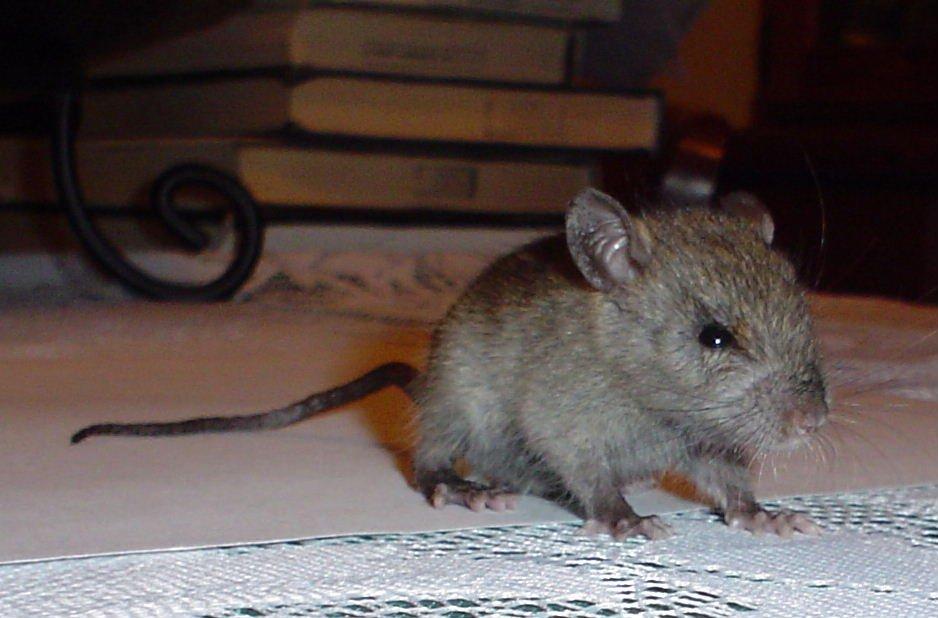 Black Rat juvenile