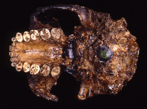 Skull cast Paranthropus boisei OH5