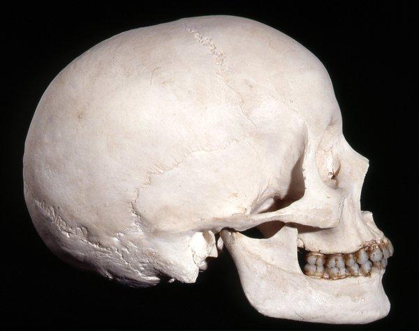 Cast skull homo sapiens