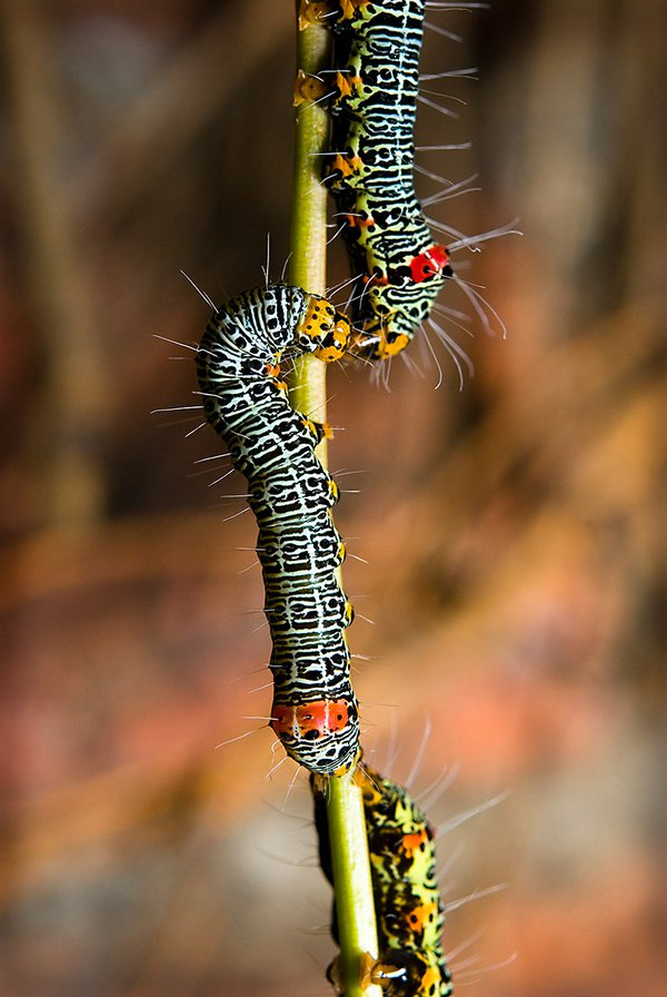 Caterpillar Kisses - Joel Devlin
