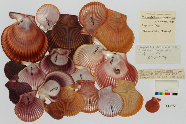 C.303774 Pectinidae Mimachlamys asperrima