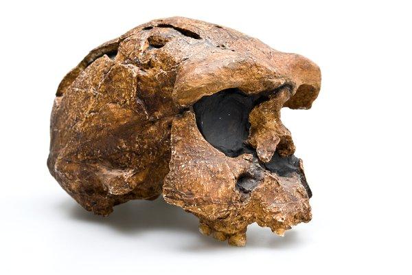 Homo Erectus Skull - Sangiran 17 Homo erectus angled view