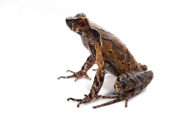 Mount Fansipan Horned Frog