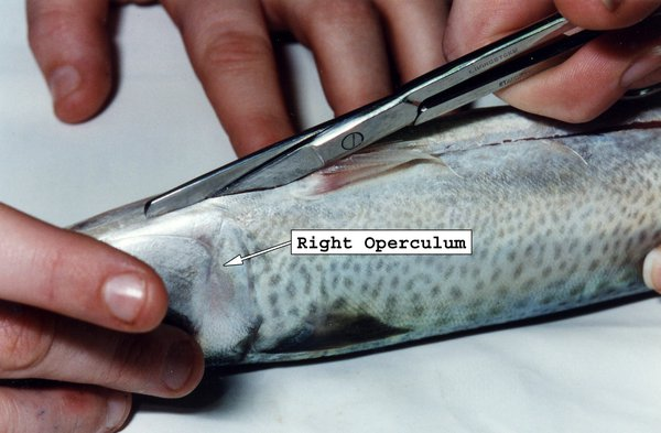 Fish Dissection - Cut along isthmus