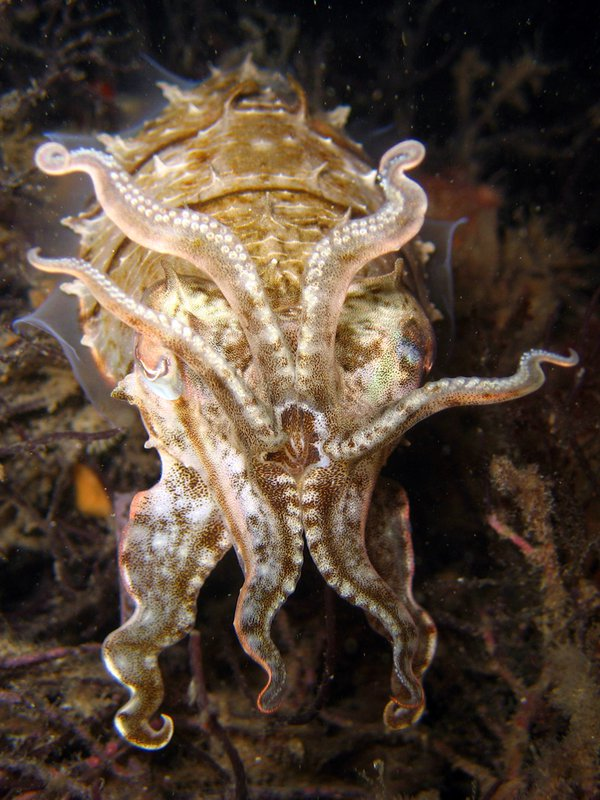Cuttlefish at Fly Point by Night - David Breneman