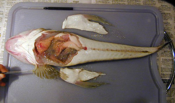 Dissection of a Bluespotted Flathead-Body Cavity